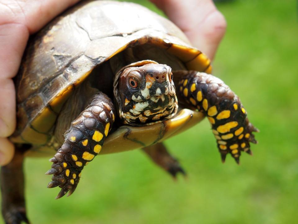 turtle pets